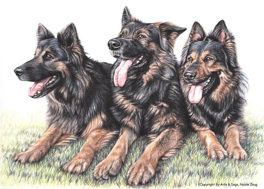 Langhaar-Schäferhunde - German Shepherds