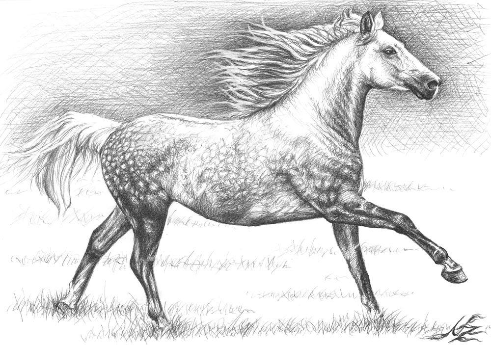 Apfelschimmel - Dappled Grey Horse