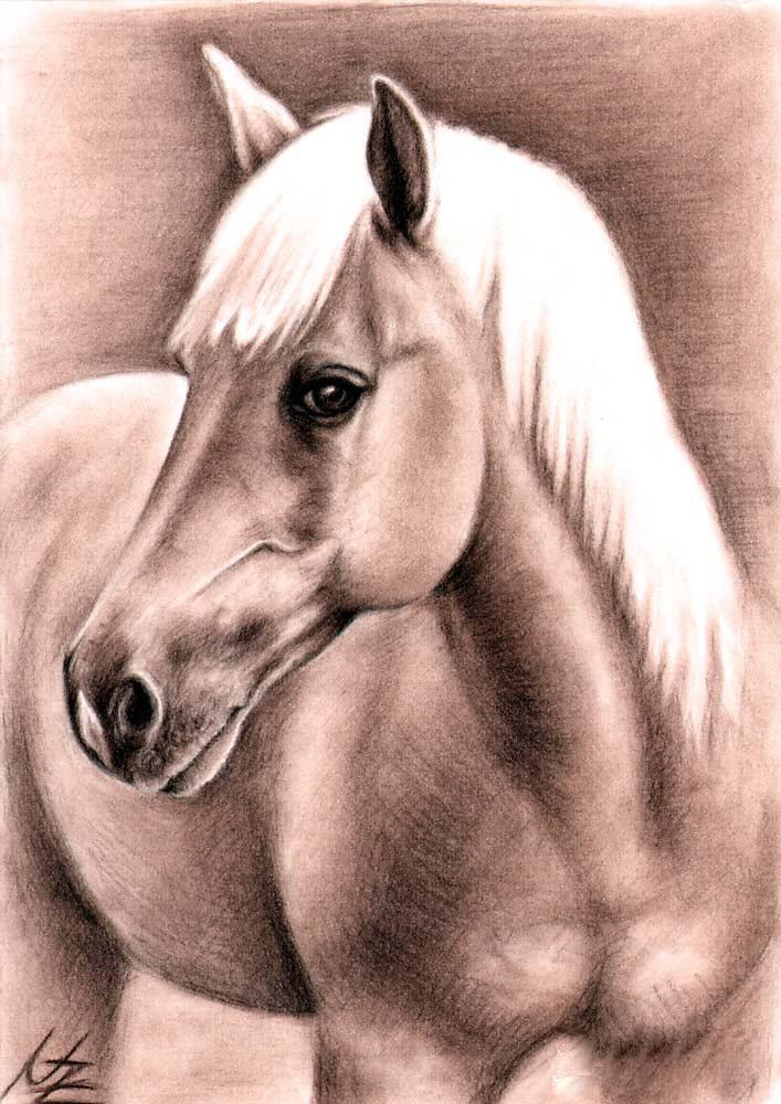 Haflinger Hengst/Stallion