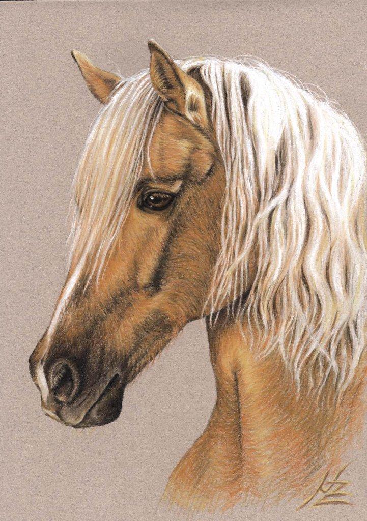 Berber Hengst - Spanish Horse