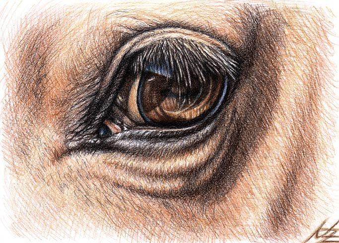 Pferdeauge - Horse Eye